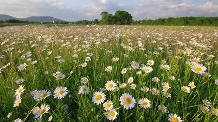 grass flowers : Meadow of spring daisy flowers in mountain. Beautiful nature landscape.
