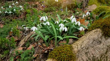 Snowdrop in forest. Beautiful nature composition. Stock Footage