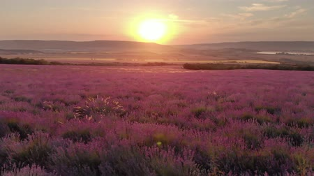 lavanda : Nature landscape video. Flight over lavender meadow at sunset. Agriculture industry scene.