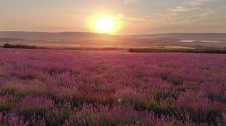 Nature landscape video. Flight over lavender meadow at sunset. Agriculture industry scene.