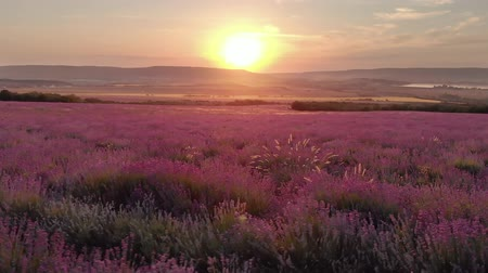 levandule : Aerial nature landscape video. Flight over lavender meadow at sunset. Agriculture industry scene.