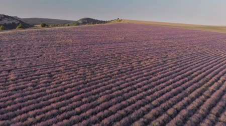 Aerial nature landscape video. Flight over lavender meadow at sunset. Agriculture industry scene.