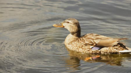 duck : Duck swimming in the water Stock Footage