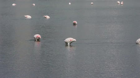 Pink flamingos in the salt lake in Calpe in Spain Dostupné videozáznamy