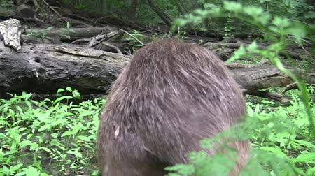 cauda : Beaver eating in natural environment. Stock Footage