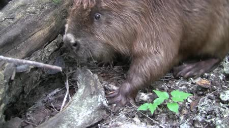 voronezh : Beaver eating in natural environment. Stock Footage