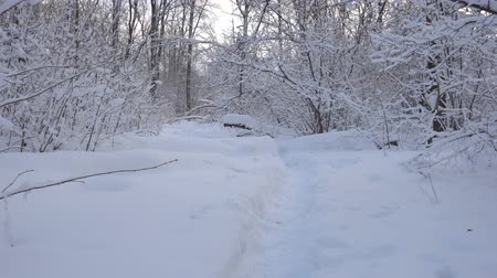 рождественская елка : Panorama of the winter forest and the dog Стоковые видеозаписи