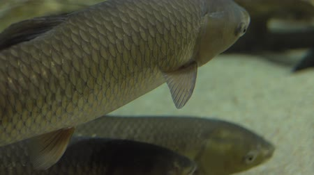 submarino : The carp floats under the water in the aquarium.