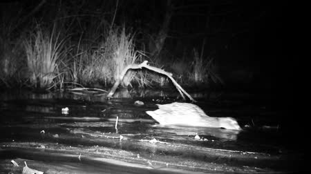 yeşilbaş : Close View of a Mallard Duck (Anas Platyrhynchos) on a Wetland Pond by Night. Black and White Water Bird and Nature Videos in FullHD