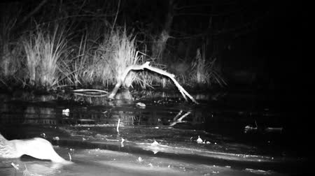 aves : Mallard Duck (Anas Platyrhynchos) Floating Close View in Wetland by Night. Water Bird and Nature Videos in FullHD