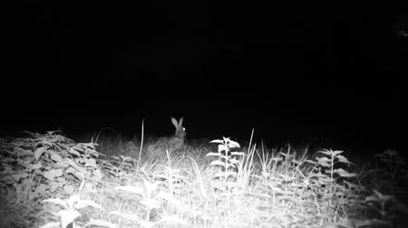 europaeus : European Hare (Lepus Europaeus) eats grass and listen for predators in a meadow in the night. Nature and Animal in FullHD Videos.