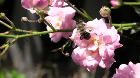 entomoloji : Bee Takes Off from a Pink Rose Flower in Slow Motion in a Sunny Wind Day. Nature and Insect Videos in FullHD