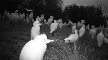 nemes kócsag : Big Group of White Water Birds (Western Cattle Egret - Bubulcus Ibis) Take Off from a Grass Meadow by Night. Black and White Water Animals and Nature FullHD Video. Stock mozgókép