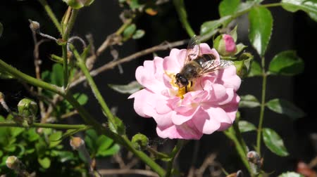 entomoloji : Close Up of a Bee Taking Nectar from a Pink Rose Flower in Slow Motion in a Sunny Wind Day with its Tongue. Nature and Insect Videos in FullHD