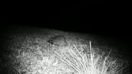 gnawer : Coypu (Myocastor Coypus) or Nutria Eats in a Grass Meadow in the Night. Black and White Water Animals and Nature Full HD Video