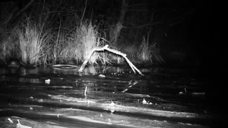 yeşilbaş : Water Bird (Mallard Duck - Anas Platyrhynchos) Floating in a Wetland Pond by Night. Black and White Nature Video in FullHD