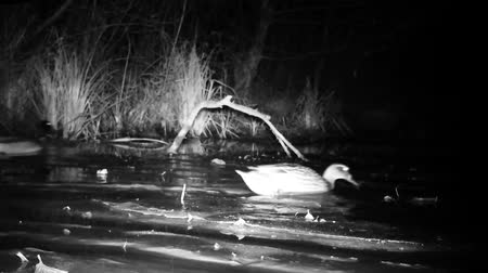 anas platyrhynchos : Pair of Wild Mallard Ducks (Anas Platyrhynchos) on a Wetland Lake by Night. Black and White Water Bird and Nature Videos in FullHD