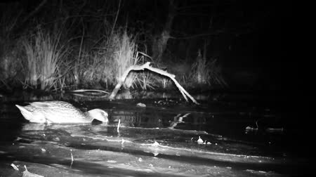 aves : Wild Duck Pair (Mallard Duck - Anas Platyrhynchos) Swimming on a Pond in Wetland by Night. Black and White Water Bird and Nature Videos in FullHD Stock Footage