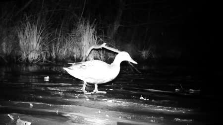 авес : Female fo Mallard Wild Duck (Anas Platyrhynchos) Walking on Mud with Water Reflections by Night. Water Bird and Nature Video in Full HD Стоковые видеозаписи