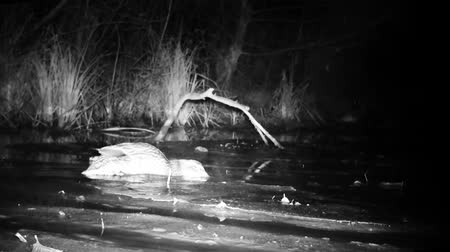 yeşilbaş : Wild Mallard Duck (Anas Platyrhynchos) Eating and Floating on a Lake by Night. Black and White Water Bird and Nature Videos in FullHD