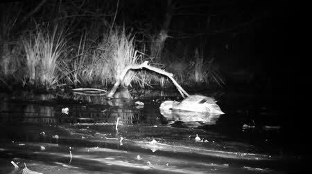 yeşilbaş : A Water Bird Mallard Duck (Anas Platyrhynchos) Eats in a Wetland Pond by Night. Animals and Nature Videos in FullHD