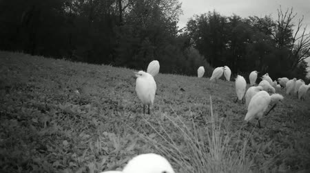 nemes kócsag : Group of White Water Birds (Western Cattle Egret - Bubulcus Ibis) in a Grass Meadow by Night. Black and White Water Animals and Nature FullHD Video.