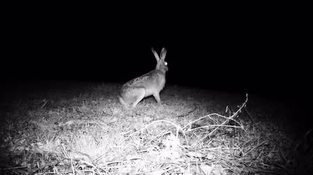 europaeus : European Hare (Lepus Europaeus or Brown Hare) listen to hear if there are any dangers and then disappear into the woods in a cold winter night. Nature and Wildlife FullHD Video.