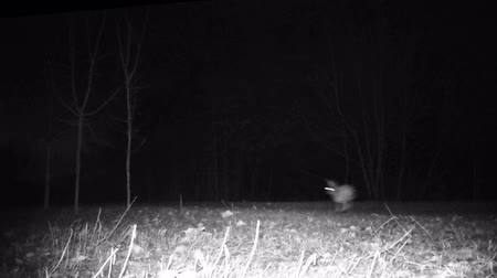 europaeus : Hare (Lepus timidus) in a forest in the night. Full HD wildlife ProRes video.