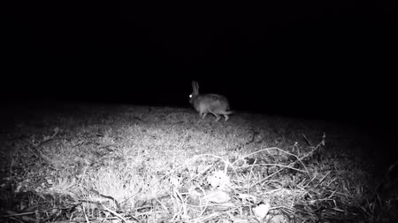 lepre : European Hare (Lepus Europaeus or Brown Hare) walks and eats grass in a meadow in a cold winter night. Nature and Wildlife FullHD Video.