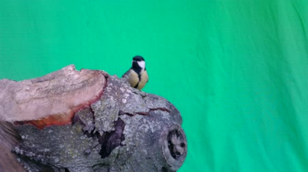 feeder : Great Tit (Parus major) eats on a piece of wood with Green Screen Background or Chroma key. Documentary about Nature, Birds and Wild Animal High Definition Video.