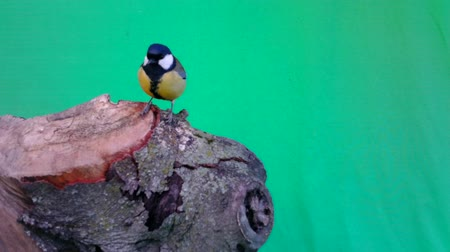 animal welfare : Great Tit (Parus major) eats on a piece of wood with GreenScreen Background or Chromakey. Documentary about Nature, Birds and Wild Animal High Definition Video. Stock Footage