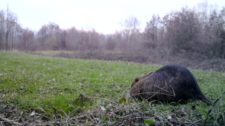 gnawer : Coypu (Myocastor Coypus or Nutria) eats grass in a winter day. Coypu is a large herbivorous semiaquatic rodent of the Myocastoridae. Nature and Wildlife FullHD Video.