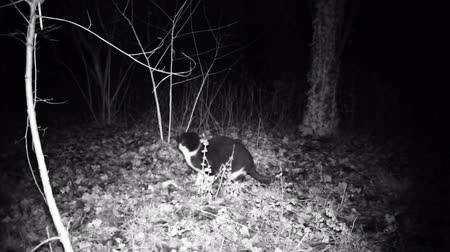 caça : Cat eats food and watch around in the night. Black and white domestic cat high quality video Vídeos