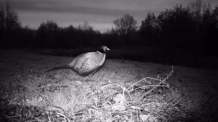 nativo : Common Pheasant (Phasianus Colchicus) walks in the grass in winter night. Pheasant is a game bird in the pheasant family (Phasianidae). Nature and Wildlife FullHD Video. Stock Footage