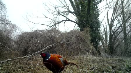 necked : Common Pheasant (Phasianus Colchicus) eats in a winter day in a wood. Pheasant is a game bird in the pheasant family (Phasianidae). Nature and Wildlife FullHD Video. Stock Footage