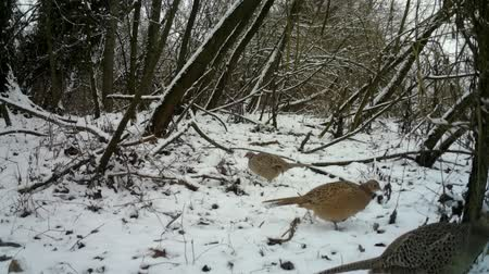 pheasant : Female of Pheasant (Phasianus Colchicus) eats the grass in urban wood in winter
