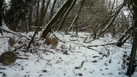 ornitologie : Female of Pheasant (Phasianus Colchicus) eats the grass in urban wood in winter