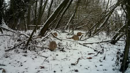 fagiano : Female of Pheasant (Phasianus Colchicus) eats the grass in urban wood in winter