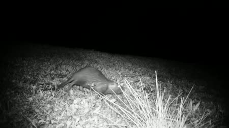 gnawer : Coypu (Myocastor Coypus) or Nutria Graze in a Grass Meadow in the Night. Black and White Water Animals and Nature Full HD Video