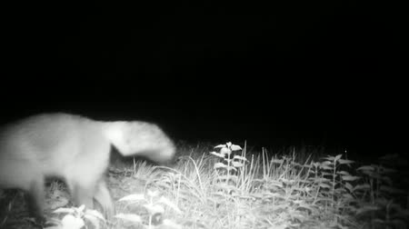 mammalia : Red Fox (Vulpes Vulpes) Close View while Marking the Territory with his Urine in the Night. Nature Animals FullHD Video.