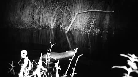 gnawer : Coypu (Myocastor Coypus) or Nutria Swims in a Pond of a Swamp in a Wood in the Night. Black and White Water Animals and Nature Full HD Video