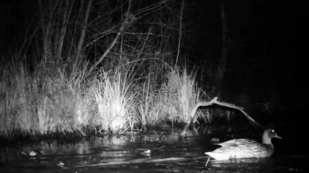 pato real : Wild Mallard Duck (Anas Platyrhynchos) Swimming on a Lake in a Forest by Night. Black and White Water Bird and Nature Video in Full HD Vídeos