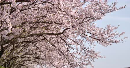 Cherry blossoms are in full bloom. Stok Video