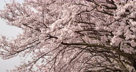 Cherry Blossoms Are Fluttering in the Soft Breeze.