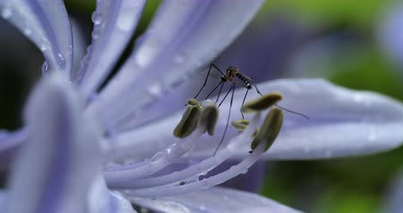 Male Mosquitoes Suck Nectar from Flowers and Fruits. Stok Video