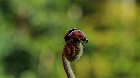 katicabogár : Slow motion of the moment when a ladybug flies.