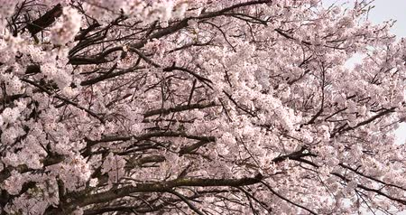Cherry Blossoms in Full Bloom While Moving the Camera Slowly. Stok Video