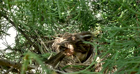 ninhada : Birds nest. Bunting Female Warms Eggs.
