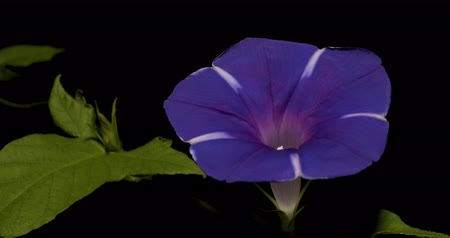 Time-lapsed video of purple morning glory.
