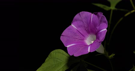 Time-lapsed video of pink morning glory.